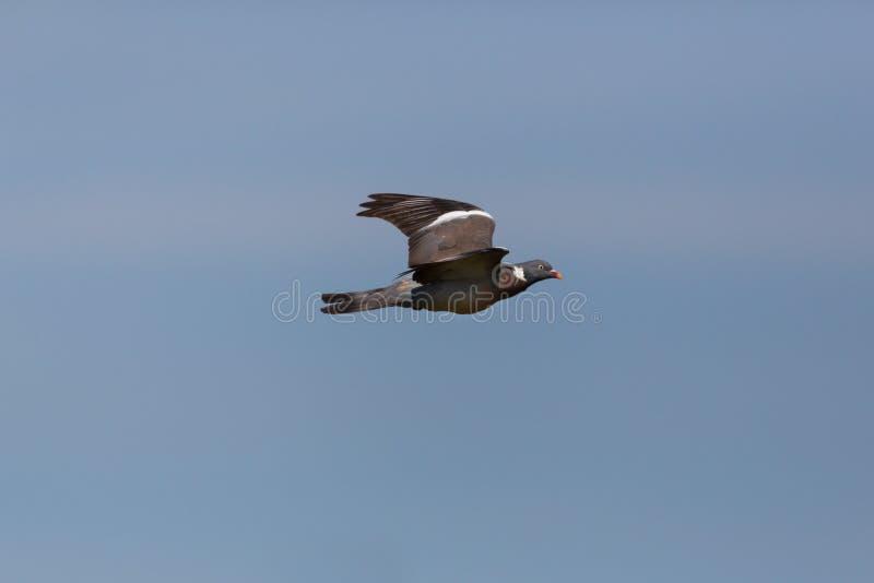 One flying wood pigeon culver columba palumbus, spread wings. One natural flying wood pigeon culver columba palumbus, spread wings, blue sky stock photography