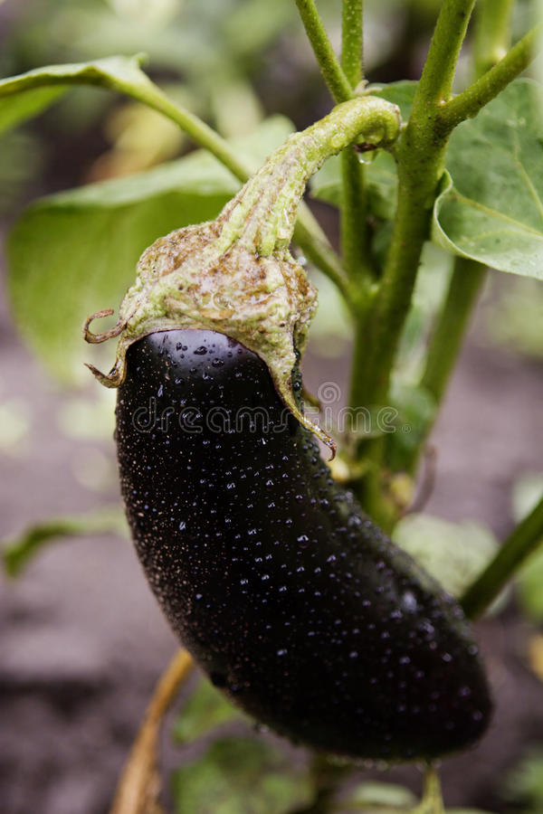 One fresh eggplant or aubergine. With waterdrops from the rain, in the garden. Shallow depth of field. See portfolio for more like this stock photography
