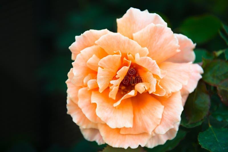One fresh orange rose flower. On green dark garden background stock images