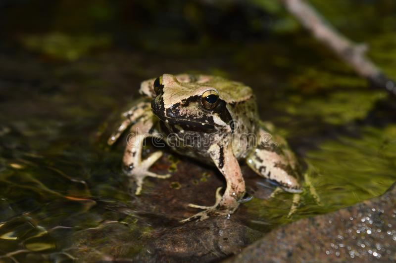Frog. One frog in the river stock photos