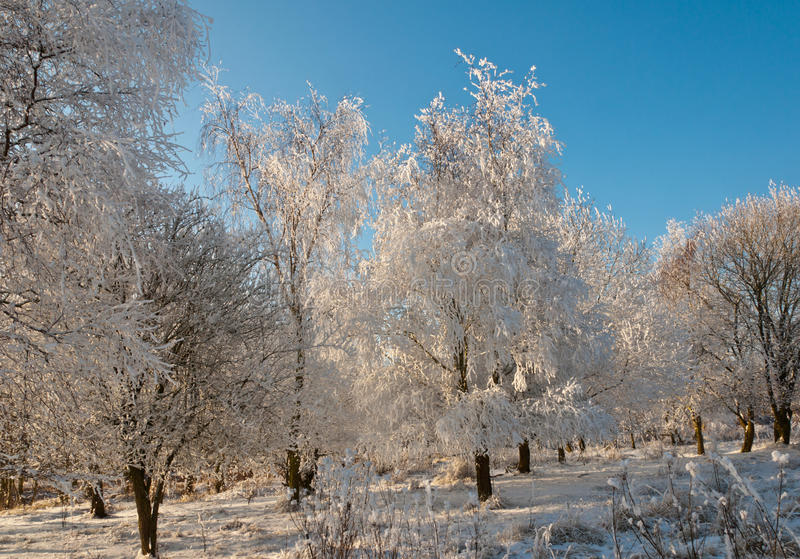 Download One Frosted Tree In Sunlight Stock Photo - Image: 23366476