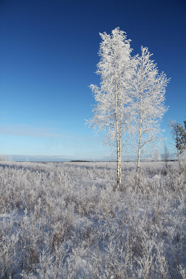 One frozen birch tree on winter field and blue sky. Winter royalty free stock image