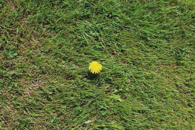 A dandelion blooms on a lawn. Only one full bloom dandelion on a fresh green lawn royalty free stock images