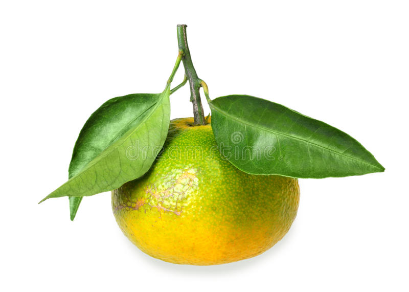 One full fruit of yellow tangerine with several green leafs royalty free stock image