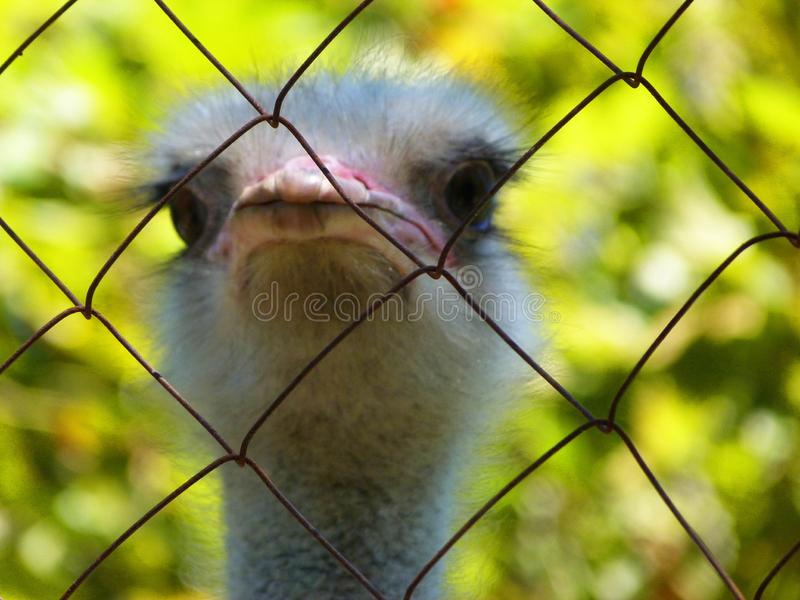 One really funny and adorable ostrich. Summer portrait of one really funny and adorable ostrich lat. Struthio camelus. Photo with green background royalty free stock image