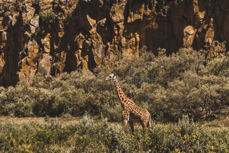One giraffe hiding in bushes. Safari Kenya Africa. One giraffe hiding in bushes. Safari in Kenya, Africa. Wild nature and animals. Travel in african savannah stock photography