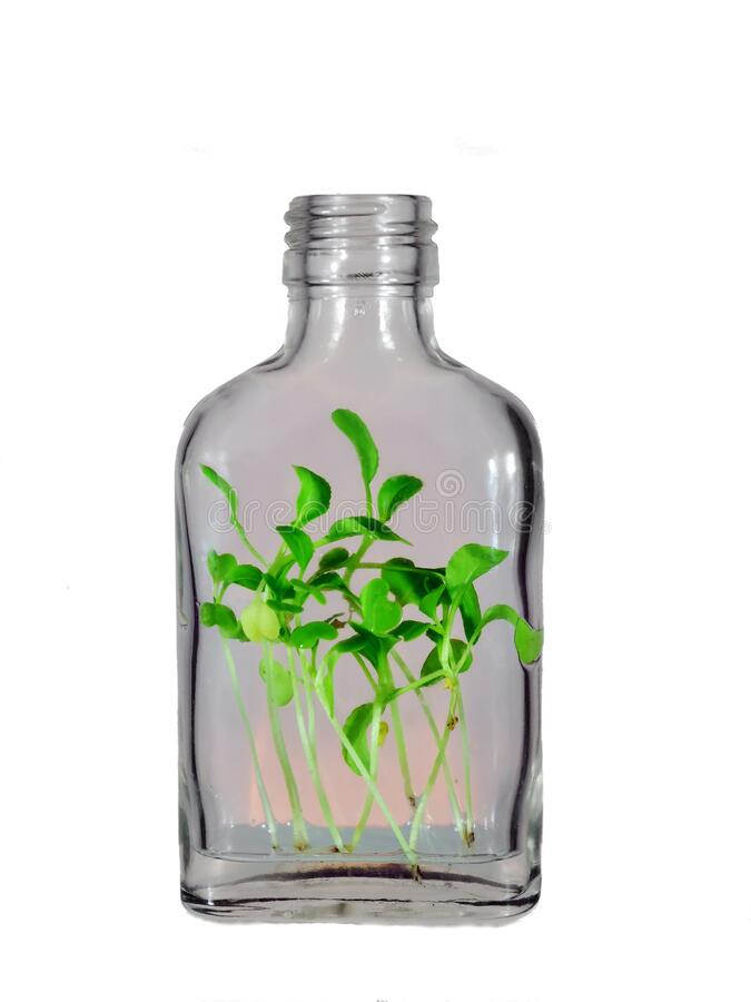 One glass bottle with green plants spouts within isolated on a white background. One glass bottle with green plants spouts growing within isolated on a white royalty free stock photos