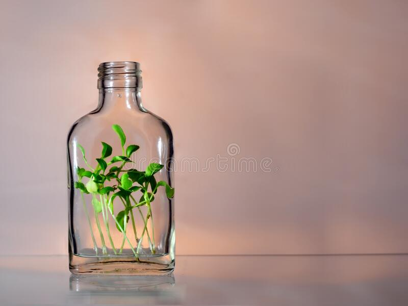 One glass bottle with green plants spouts within on a pink and grey background with copy space. Ecology save the earth concept stock image