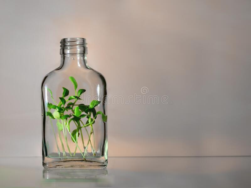 One glass bottle with green plants spouts within on a pink and grey background with copy space. Ecology save the earth concept stock photos