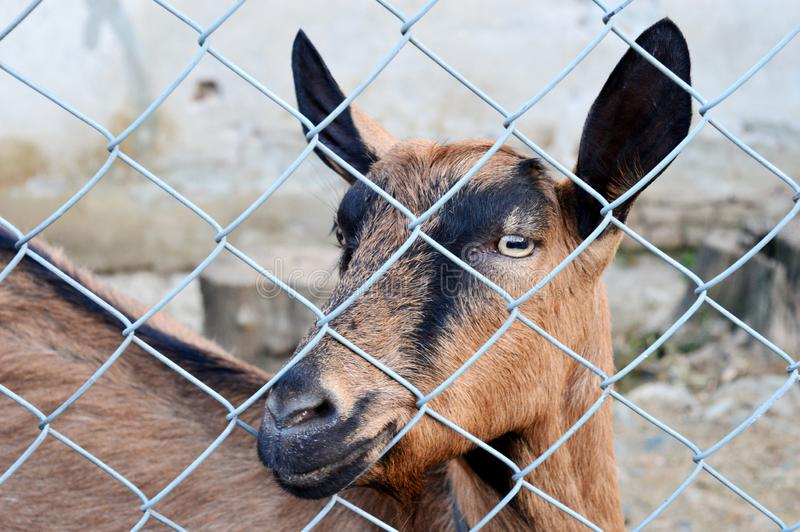 Goat behind the fence. One goat behind the fence royalty free stock photography