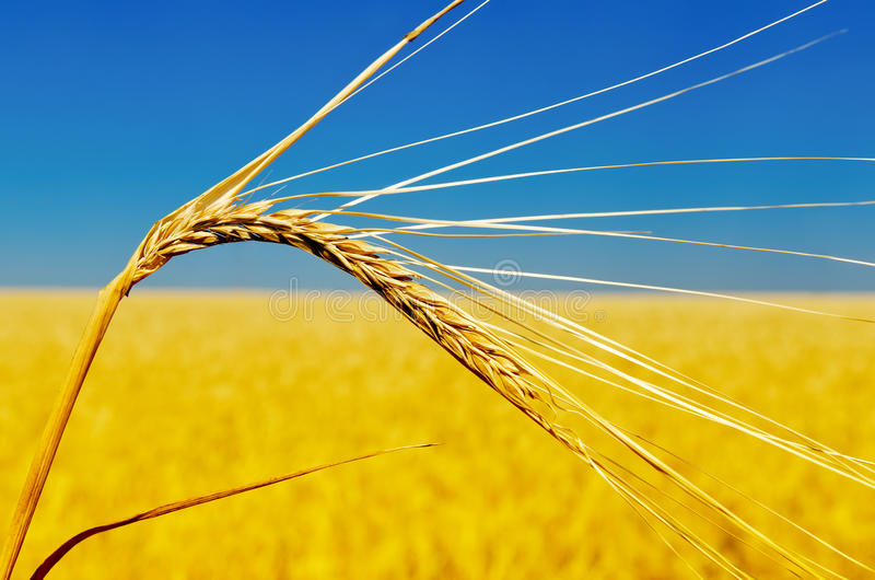 Download One golden ear of wheat stock image. Image of barley - 27165589