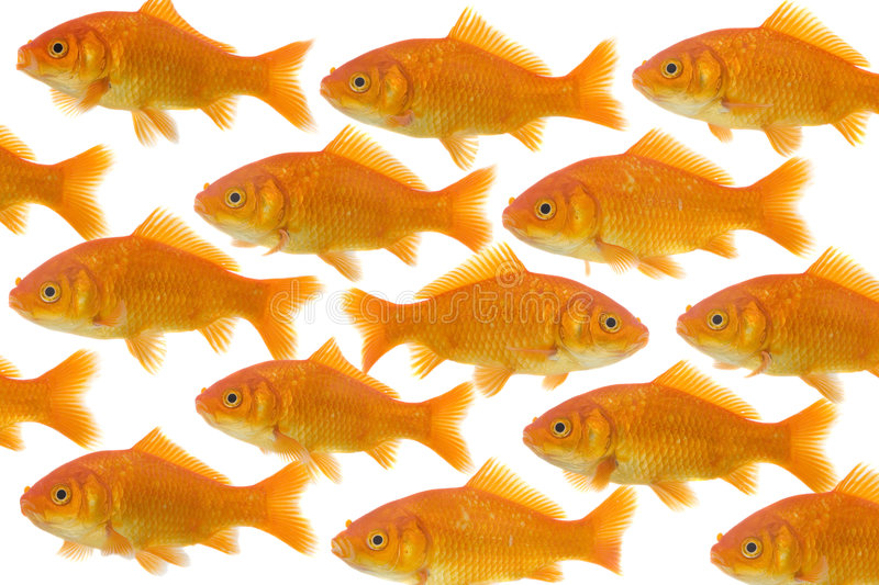 One goldfish being different. Dare to be different : on goldfish being different than the others, isolated on a white background