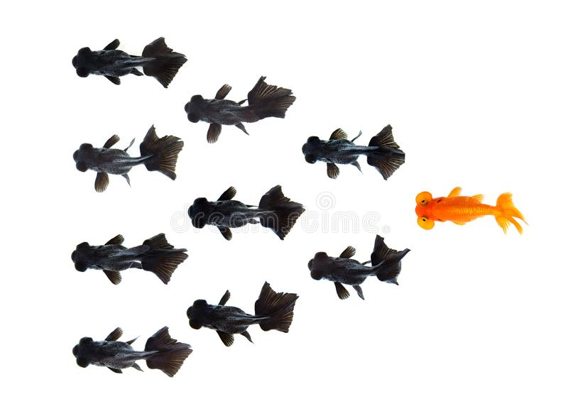 One goldfish following group of small black goldfish isolated on white background Represents a different idea of doing business. stock photos