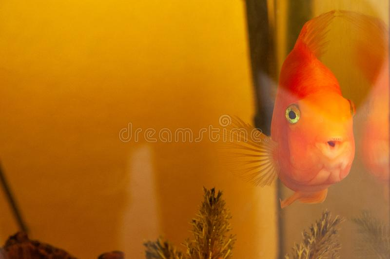 One goldfish with open mouth in a home aquarium stock images
