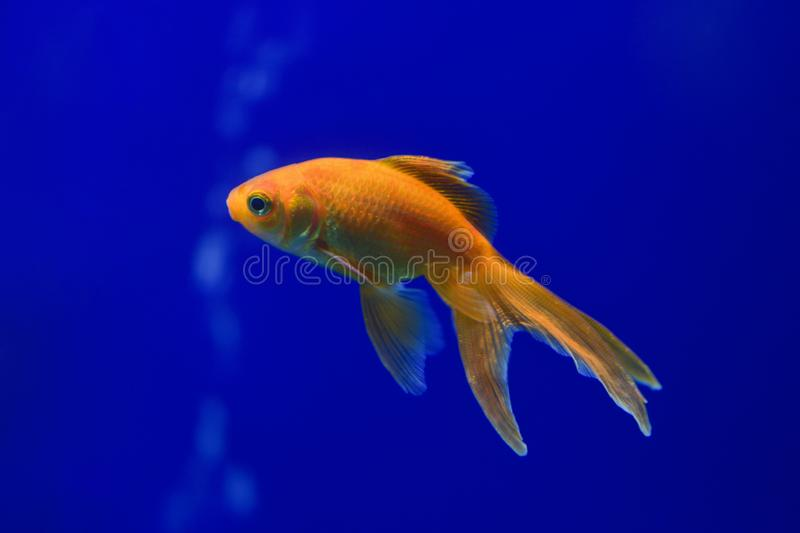 One goldfish in a transparent aquarium on a dark blue background. stock images