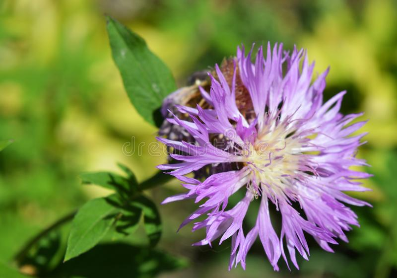 One gorgeous close up cornflower. Summer violet flower royalty free stock photo
