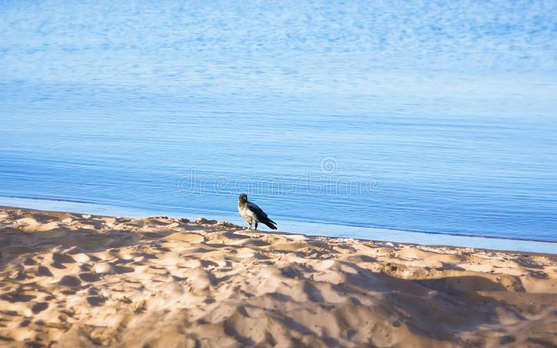 One Gray Crow Standing On The Beach Near The Water royalty free stock photography