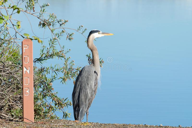 One Great Blue Heron perched on ground by a lake royalty free stock image