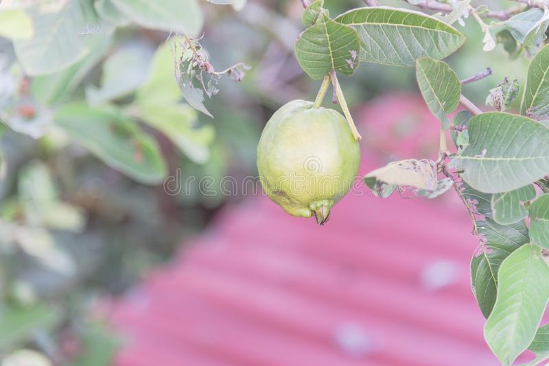 One green guava hanging on tree branch at home garden in Vietnam royalty free stock photography