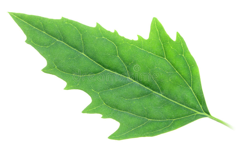 Download One green leaf stock image. Image of object, head, simplicity - 14826541