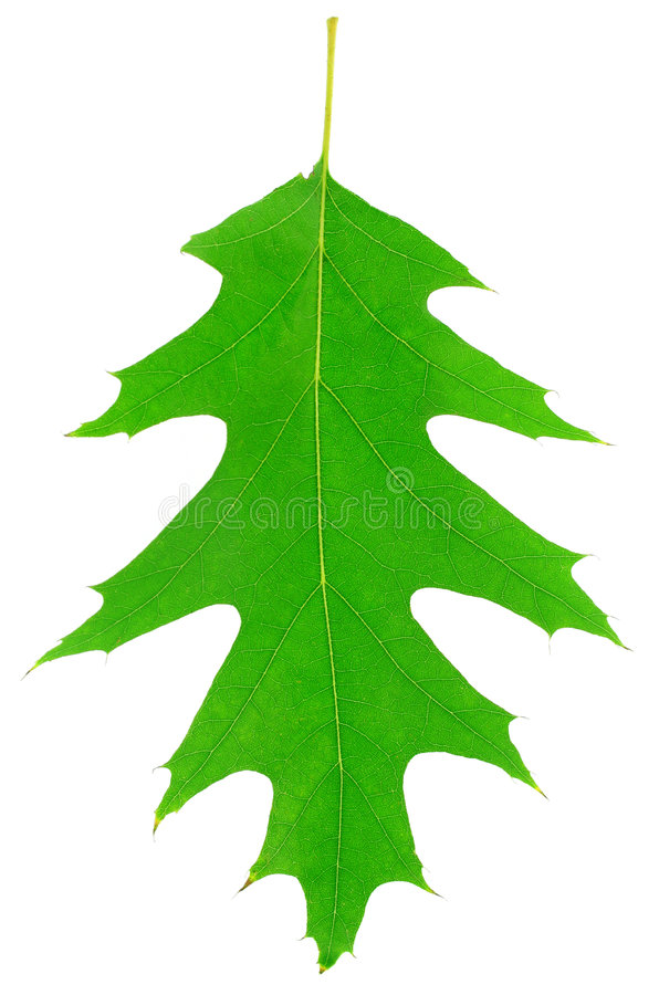 Free One Green Oak Leaf Is Texture Of Plant Royalty Free Stock Photo - 6669585