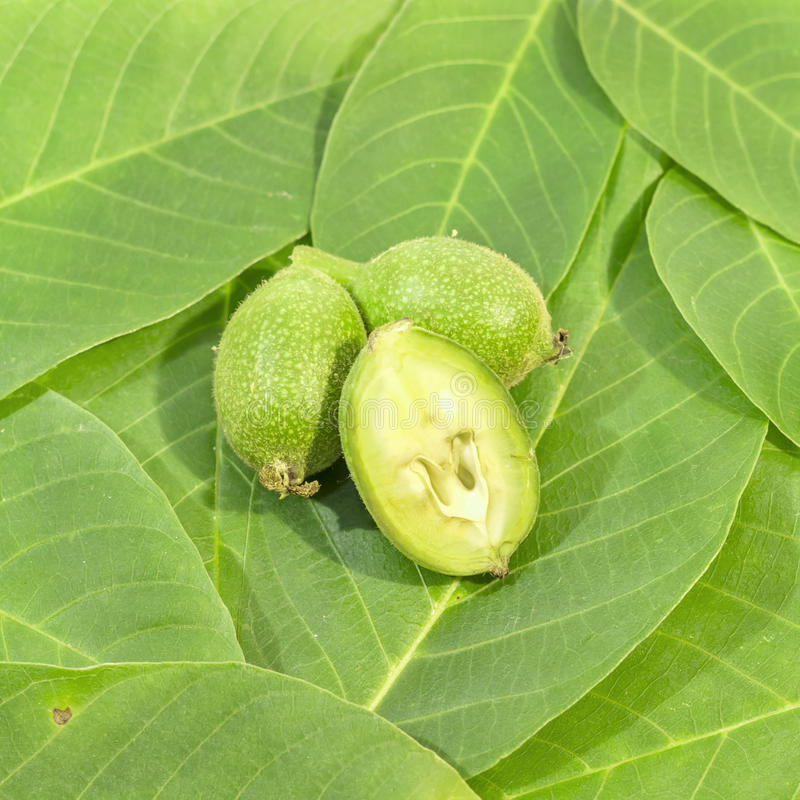 One green walnut cut and recumbent on two whole walnuts on leaves. Close royalty free stock image
