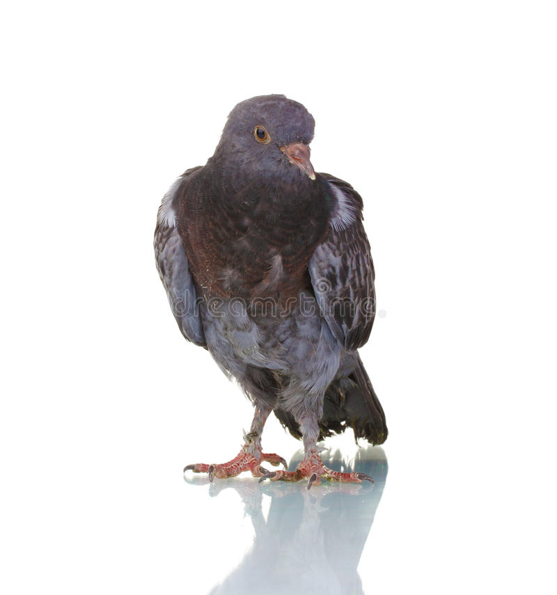 One Grey Pigeon Royalty Free Stock Photography