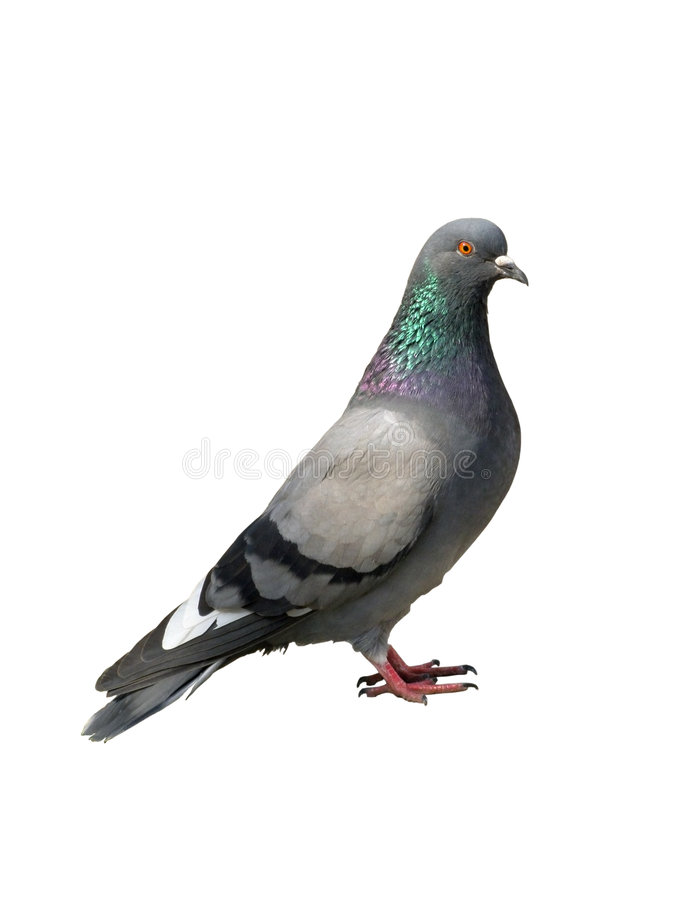 Free One Grey Pigeon On A White Royalty Free Stock Image - 7202616