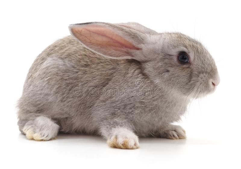 One grey rabbit. On a white background royalty free stock photography
