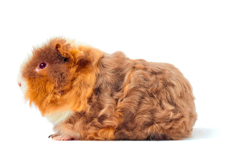 Download One Guinea Pig Merino On White Background Stock Image - Image: 25138229