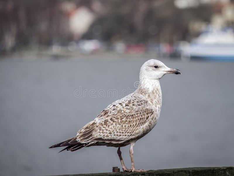 One gull waiting for the fishingboats stock photography