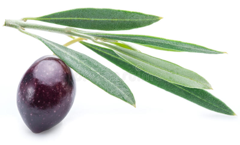 One half-ripe (semi-ripe) fresh olive berry with leaves. One half-ripe (semi-ripe) fresh olive berry with leaves on the white background royalty free stock photos
