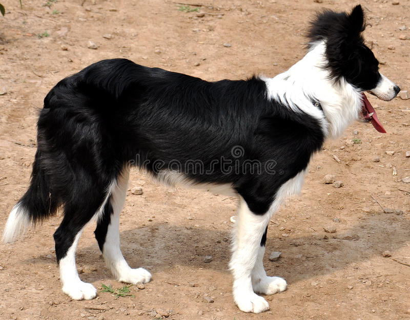 Border Collie(Six months) in profile. The border collie is six months old, it is a girl.She was standing quietly on soil land , the photo was right royalty free stock photo