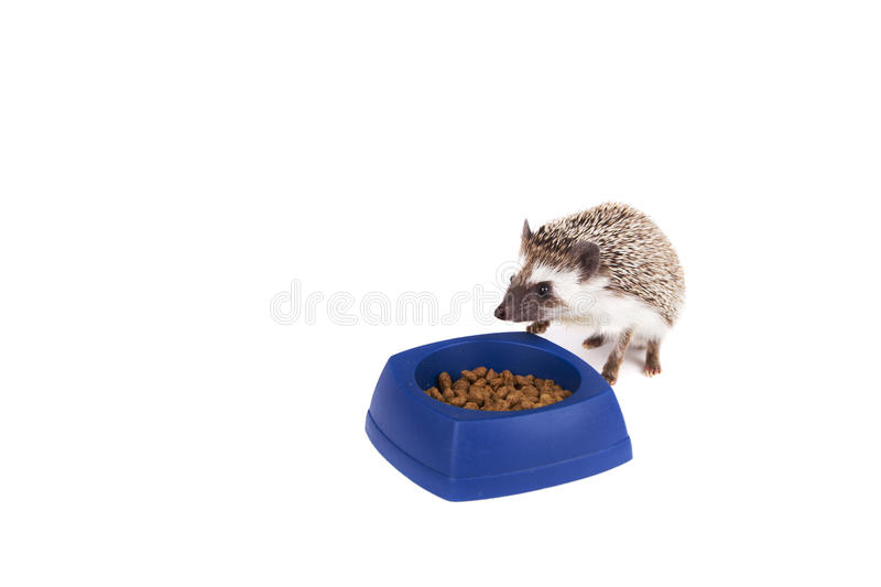 One hedgehog eating out of a dish. One hedgehog eating cat food out of a dish, on an isolated white background royalty free stock images