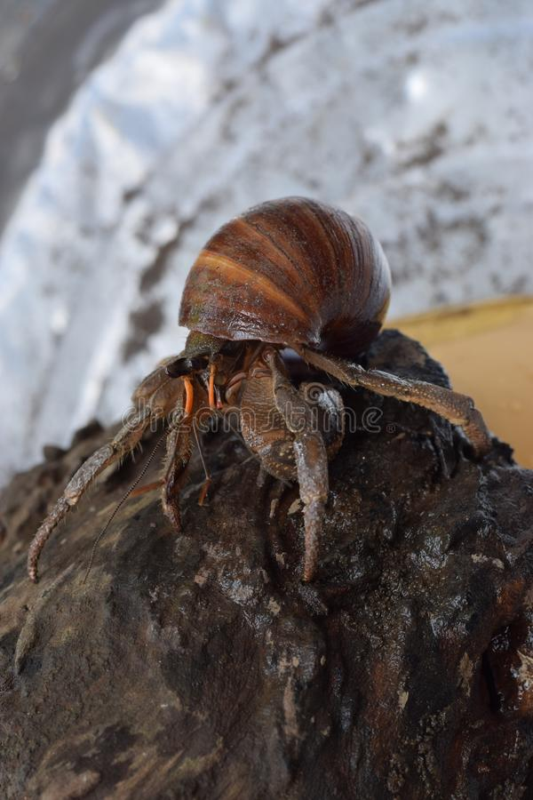 1 one hermit crab found its way home at black Japanese snail shell royalty free stock photo