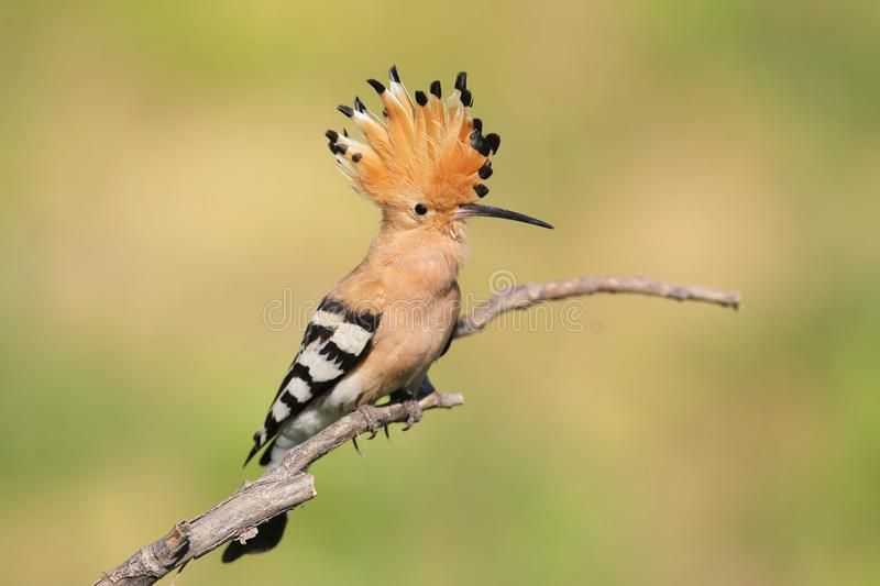 One hoopoe sitting on special branch and posing photographer. royalty free stock photos