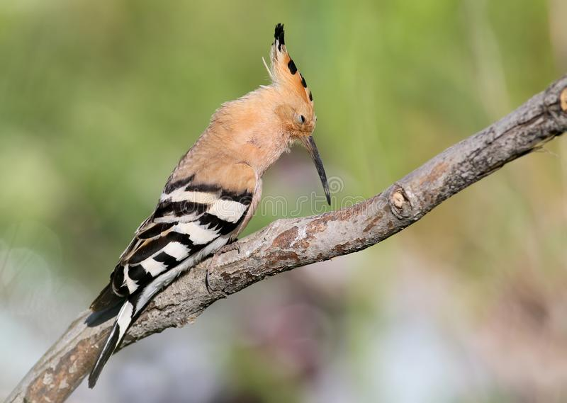 One hoopoe sitting on special branch and posing photographer. stock images