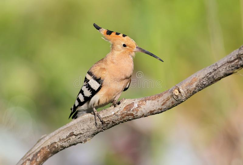 One hoopoe sitting on special branch and posing photographer. royalty free stock photo