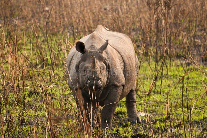 One horned Rhino royalty free stock image