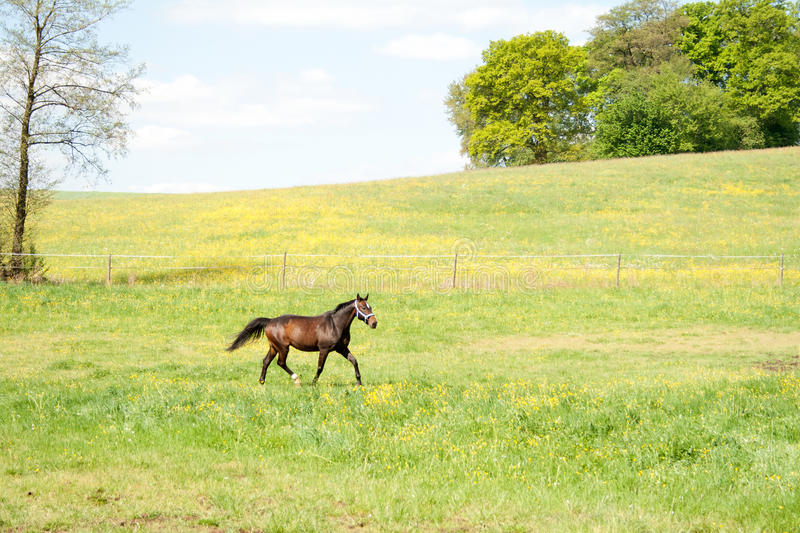 One horse run free in meadow. Beautiful horse free outside. Gallop on pasture in flowerfield royalty free stock image