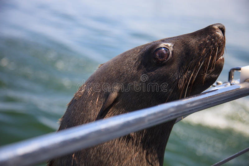 One of huge herd of fur seal swimming near the shore of skeleton. S in the Atlantic Ocean, South Africa, Namibia stock image