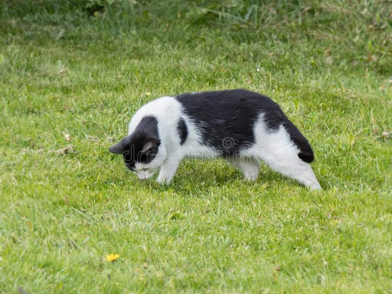 One hungry black and white cat looking for food in green grass stock photography