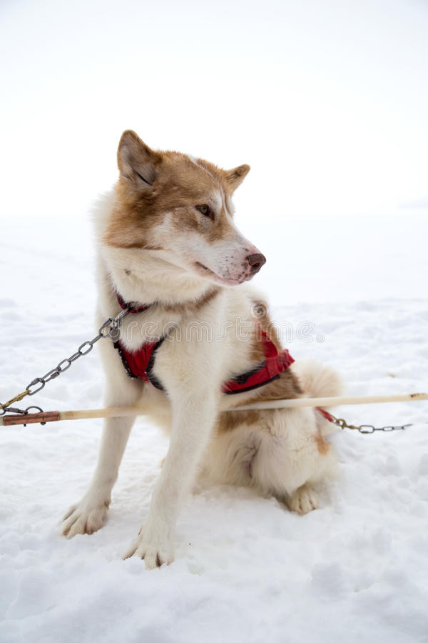 One Inuit Sled Dog Harnessed in Snow for Dogsledding in Minnesota royalty free stock photos