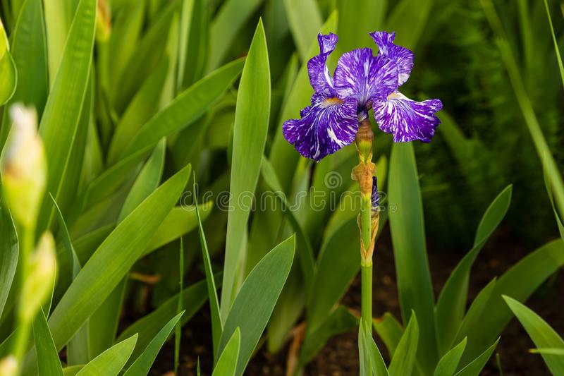 One iris blooming and one below it about to bloom. Top iris blooming and one below it about to bloom stock photography