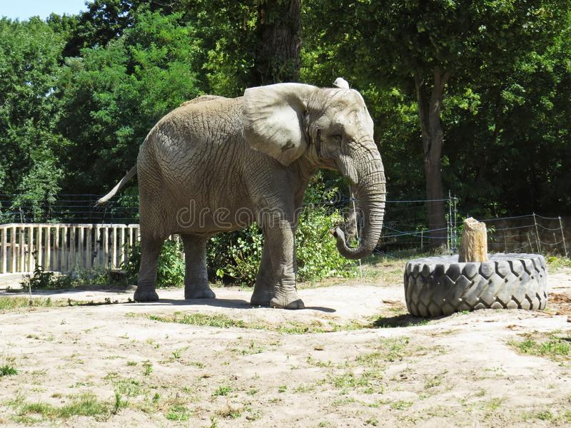 One Isolated Alone Elephant Standing and Looking Around royalty free stock photo