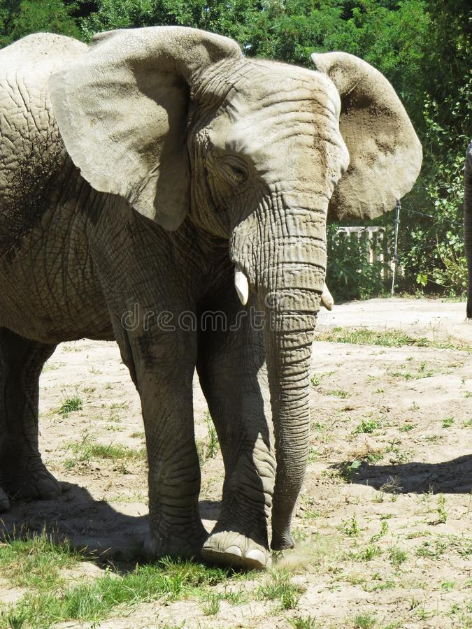 One Isolated Alone Elephant Standing and Looking Around royalty free stock image