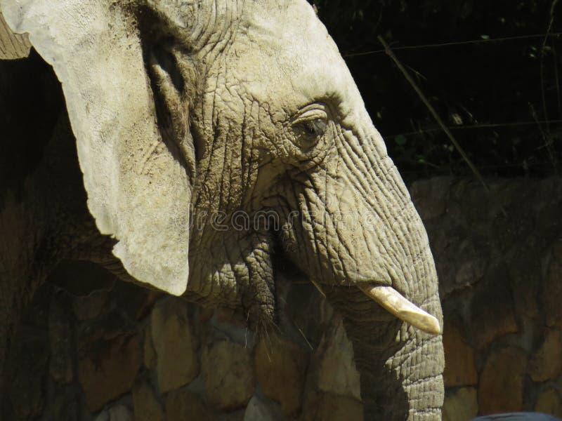 One Isolated Alone Elephant Head Looking Around stock photos