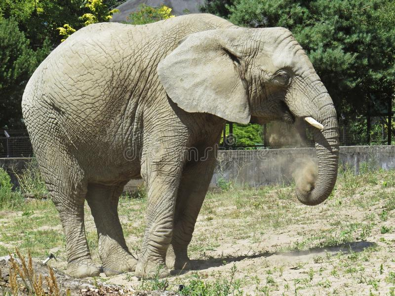 One Isolated Alone Elephant Standing and Looking Around royalty free stock photography