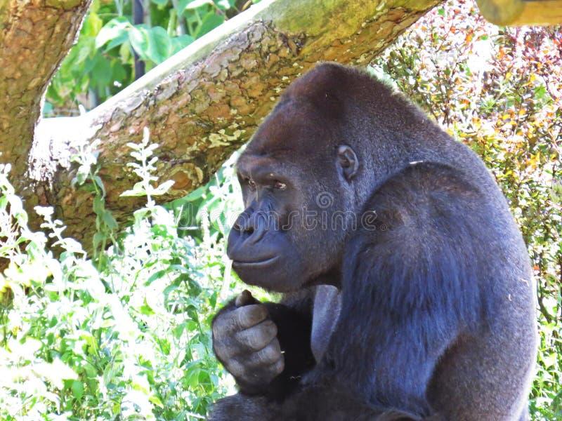 One Isolated Big Strong Black Monkey Ape Gorilla Head royalty free stock photos