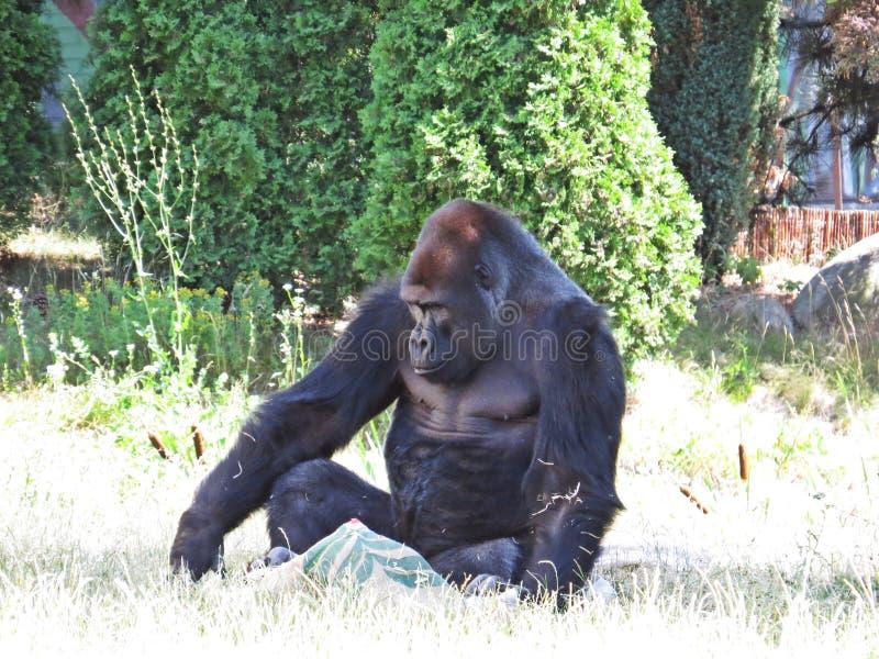 One Isolated Big Strong Black Monkey Ape Gorilla Sitting stock image